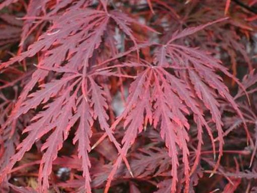 Maple Japanese 'Crimson Queen' Weeping