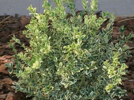 Boxwood Variegated