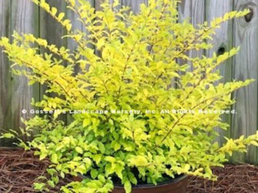 Ligustrum 'Sunshine' PP#20,379
