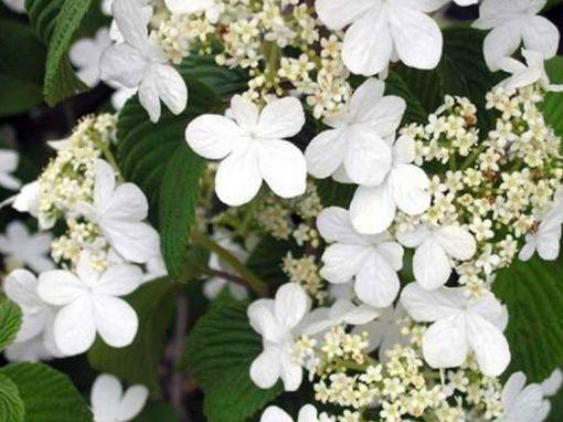 Viburnum 'Summer Snowflake'