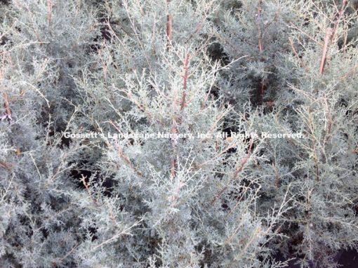 Cypress Arizona 'Carolina Sapphire'