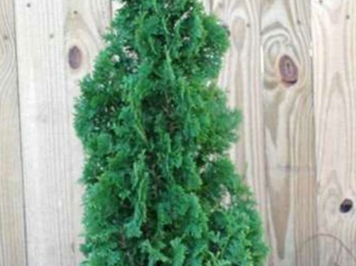Arborvitae 'Degroot's Spire'