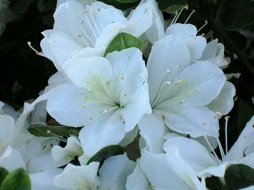 Azalea 'Delaware Valley' White