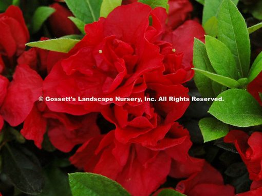 Azalea Encore® 'Autumn Fire™'