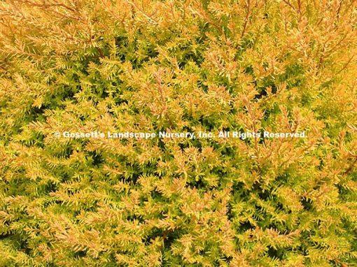 Arborvitae 'Rheingold'