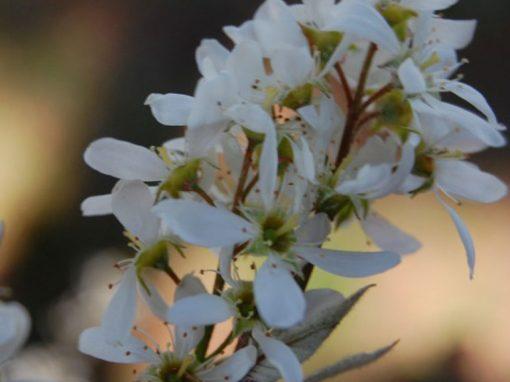 Amelanchier Serviceberry 'Autumn Brilliance' PP#5,717