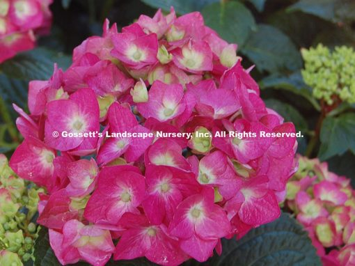 Hydrangea Endless Summer® 'Summer Crush'™
