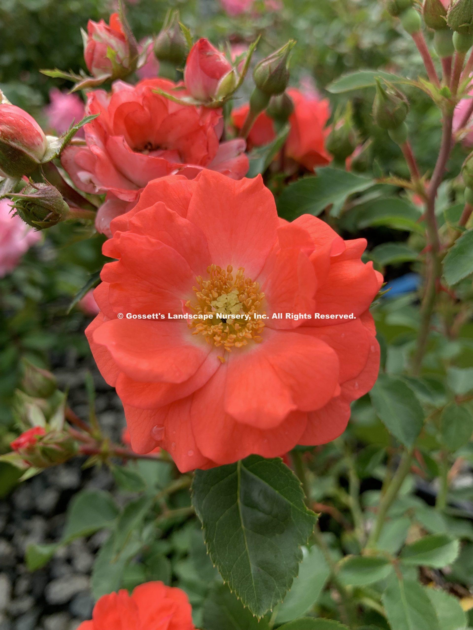 Rose Coral Drift Pp 19 148 Gossett S Landscape Nursery