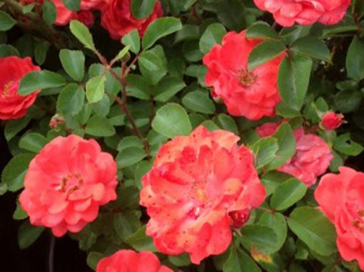 Rose 'Coral Drift' PP#19,148