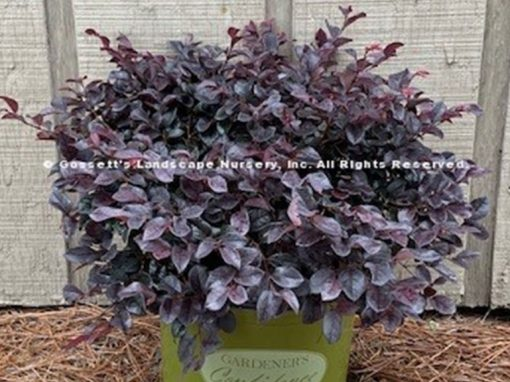 Loropetalum Ever Red TM