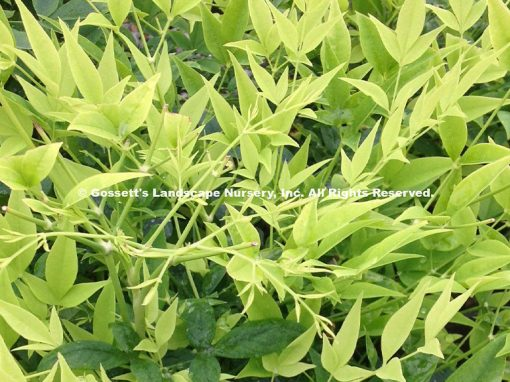 Nandina 'Lemon Lime' PP#24,749