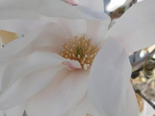 Magnolia 'Royal Star'