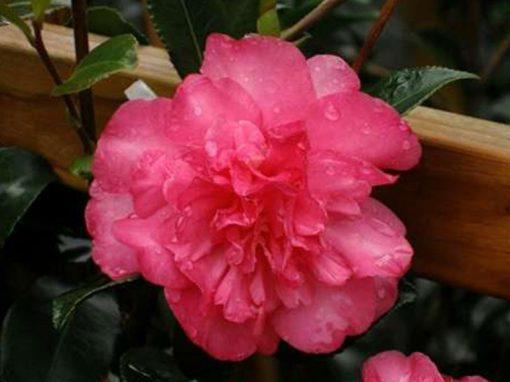 Camellia sasanqua 'Sparkling Burgundy' Red