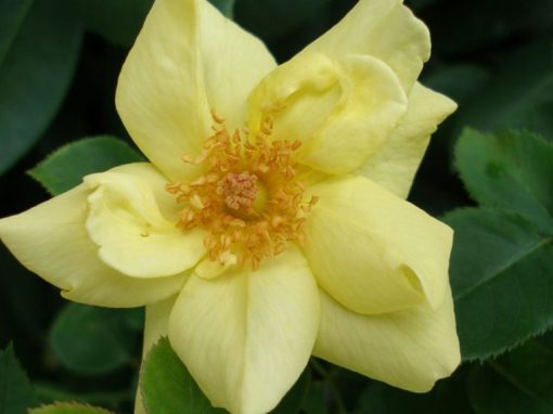 Rose Sunny Knock Out Yellow PP#18,562