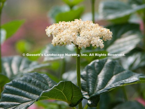 Viburnum All That Glows® PP#25,897