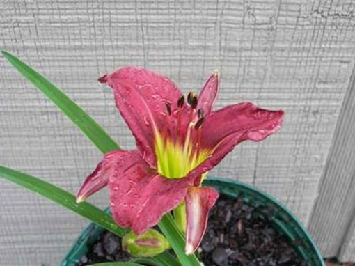 Daylilly Baby Darling Purple