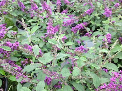 Butterfly Bush 'Blue Chip Jr.' PP#26,581