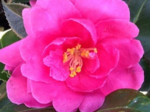 Camellia sasanqua 'Brandy's Temper' Dark Pink