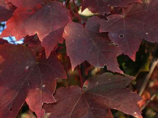 Maple Red 'Brandywine'