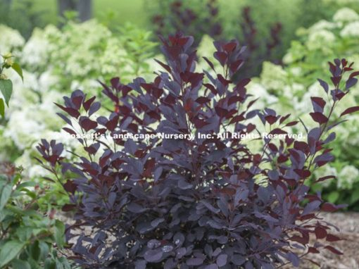 Smokebush Winecraft Black® PPAF