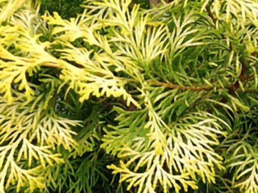 Cypress 'Crippsii'