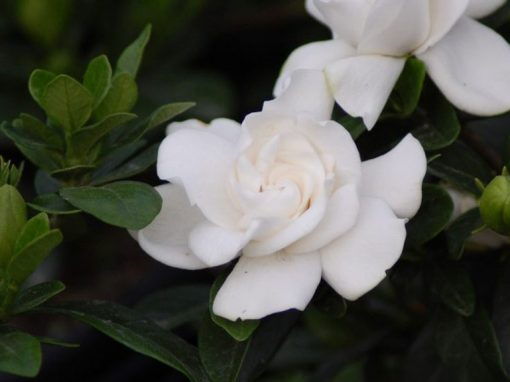 Gardenia 'Crown Jewel' PP# 19,896
