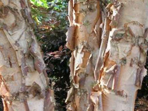 Birch 'Dura-heat' ™