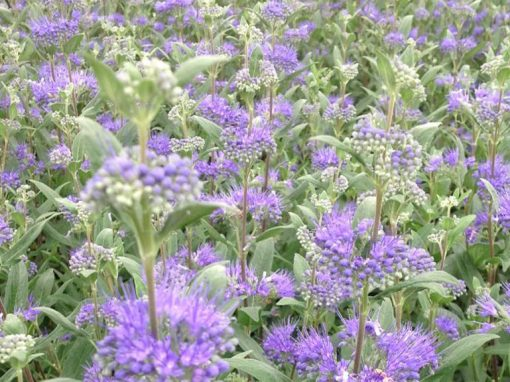 Caryopteris 'First Choice' PP#11,958