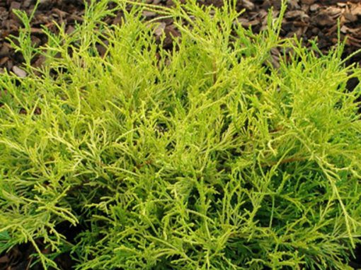 Cypress 'Gold Mops'