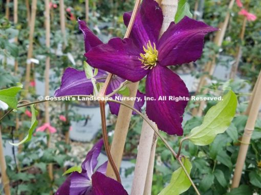 Clematis Happy Jack® PP#20,343