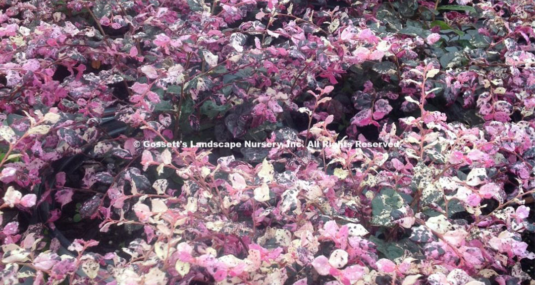Loropetalum Jazz Hands® Variegated PP#27,713