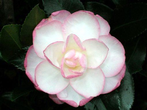 Camellia sasanqua 'Leslie Ann' White/Pink