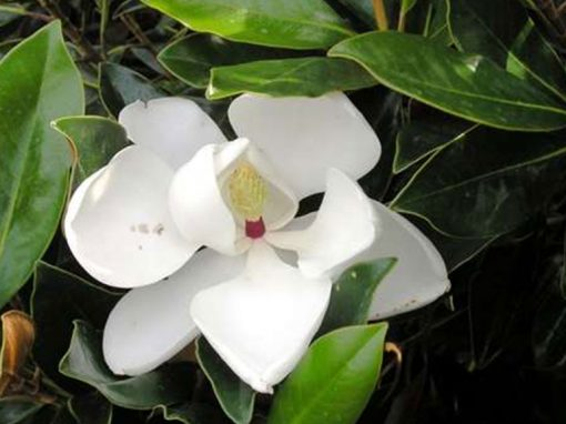 Magnolia 'Little Gem'