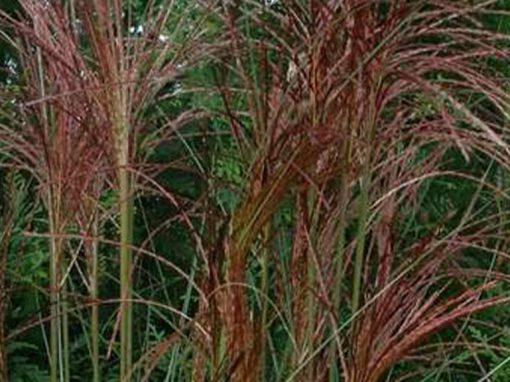 Grass Miscanthus 'Gracillimus'