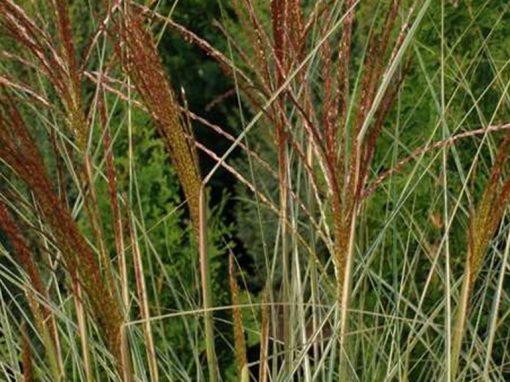 Grass 'Morning Light' Variegated