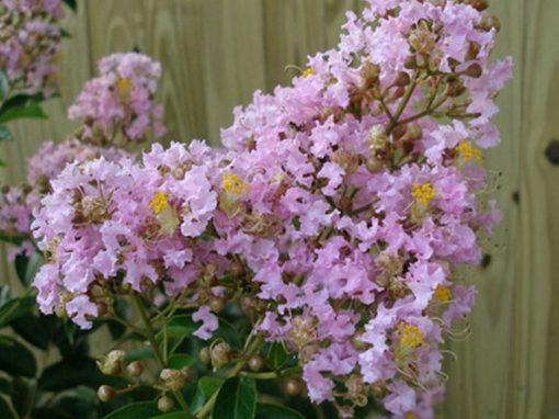 Crape Myrtle 'Muskogee' Lavender