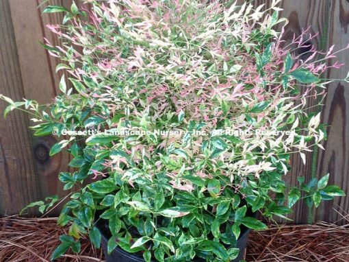 Nandina 'Twilight' PP#26,025