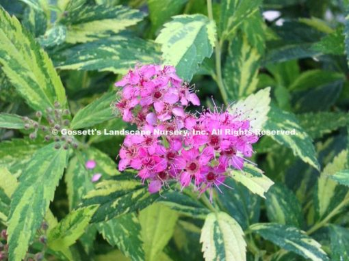 Spirea Double Play® Painted Lady™