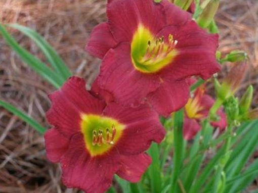 Daylilly Pardon Me Red