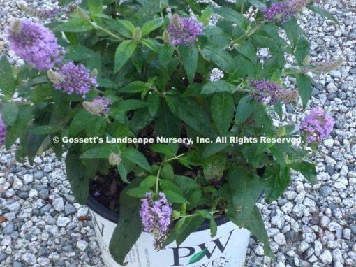 Butterfly Bush Pugster® Amethyst