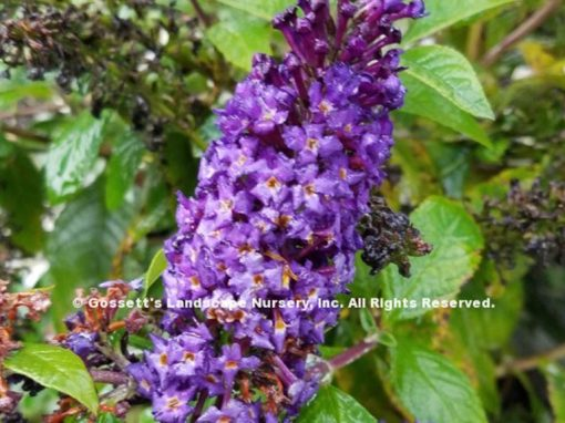 Butterfly Bush Pugster Blue® pp#28,794