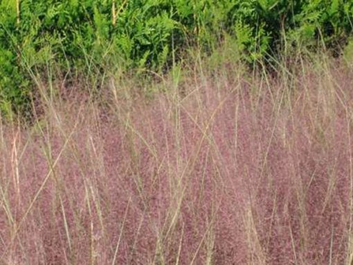 Muhly Grass Purple