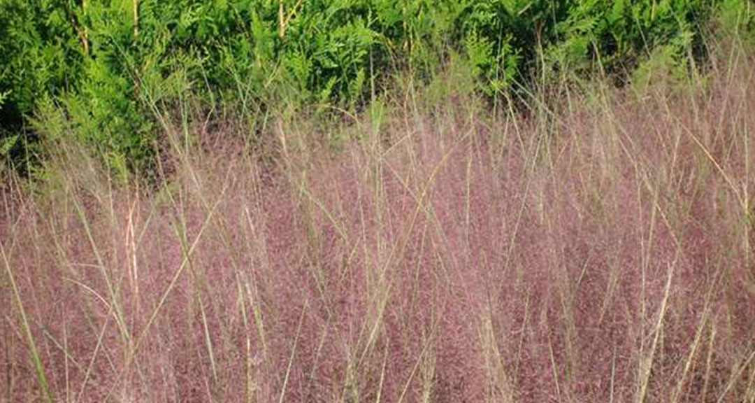Muhly Grass Purple