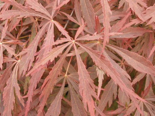 Maple Japanese 'Red Dragon' Red Weeping