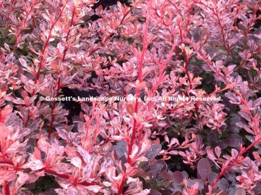 Barberry 'Rose Glow'