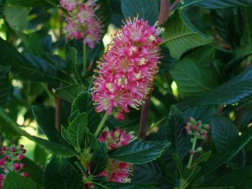 Clethra 'Ruby Spice'
