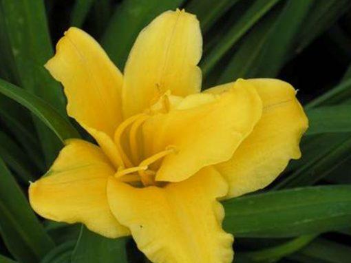 Daylily 'Stella d' Oro' Yellow