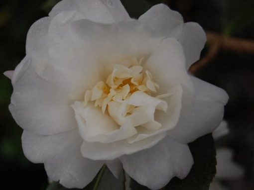 Camellia hybrid 'Winters Snowman' White