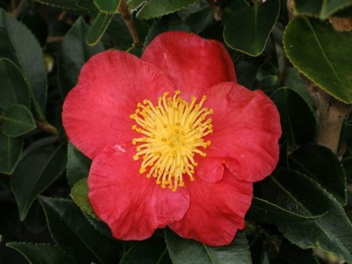 Camellia sasanqua 'Yuletide' Red