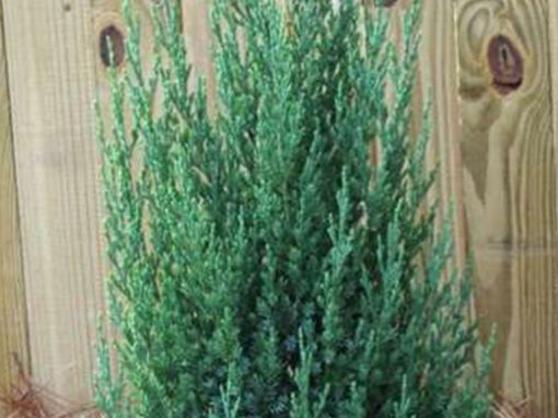 Juniper 'Blue Point' Upright